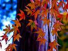 ~諏訪湖畔の紅葉情報~10月下旬~11月上旬(ナナカマド・イチョウ・ケヤキ・サクラ)