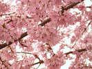 ▲桜色と青空の美しいコントラストにちょっぴり感動の旅♪