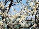 鷹巣荘の前には桜が咲きます!