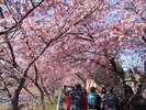 鮮やかな桜色の河津桜