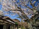 当館敷地内にある「御船山楽園」3月中旬~4月上旬のサクラ