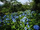 6月中旬の御船山楽園の紫陽花。ご宿泊者は入園無料。