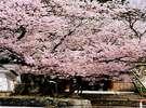 ■花見新道(ぎん月から徒歩5分)の桜 諏訪の中では随一の桜の名所(下諏訪観光協会提供)