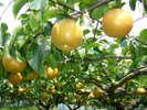 福島の梨はツヤがあり果汁が多く、甘くてみずみずしいのが特徴です。