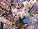 日本列島で最も早咲きのあたみ桜。