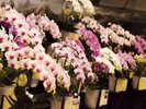 【大胡蝶蘭展】日本最多、200品種の胡蝶蘭が登場!パレスハウステンボスにて開催