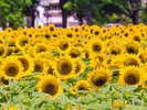 【ひまわり】一面を黄色に埋め尽くす夏を代表する花『ひまわり』は必見!
