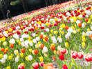 【チューリップ祭】春を告げる色とりどりのチューリップは春だけの絶景