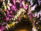 【大胡蝶蘭展】国内最多200品種-パレスハウステンボスにて開催