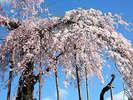 神田(しんでん)の大イト桜。例年4月下旬見ごろです。