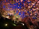 4月中旬長瀞『通り抜けの桜』夜間ライトアップ開催中です。