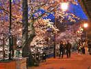 玉造温泉街にある桜並木♪夜はライトアップされます!色浴衣を着て散策しよう!
