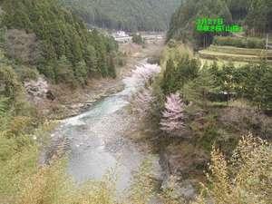 清流日高川に山桜