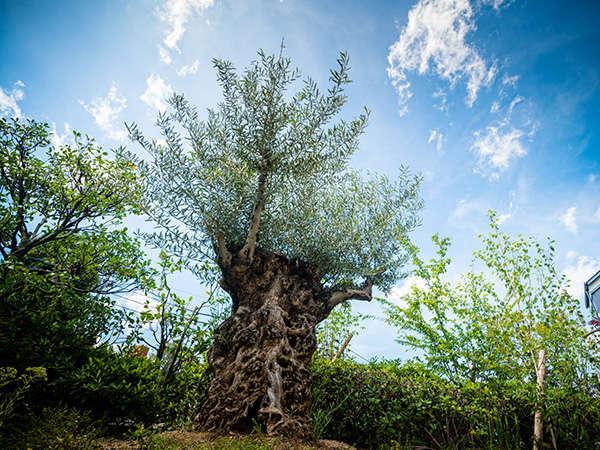 (3F)【ラ・キュイジーヌ・ジャポネーズ玻璃】平和の象徴250年オリーブの樹