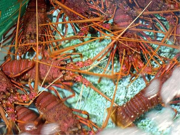 魚魚市場(海鮮市場)の目玉伊勢海老