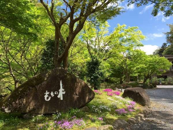 新緑がまぶしい春のもちの木