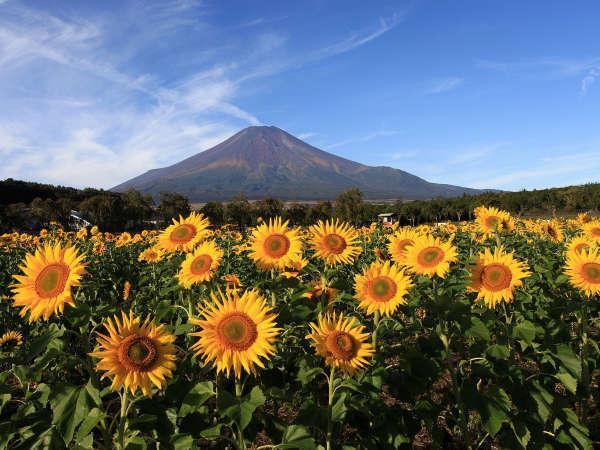 【花の都公園】夏は富士山と向日葵と富士山の絶景♪インスタ映え間違いなし☆彡