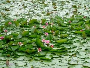 初夏いもり池の赤睡蓮の花