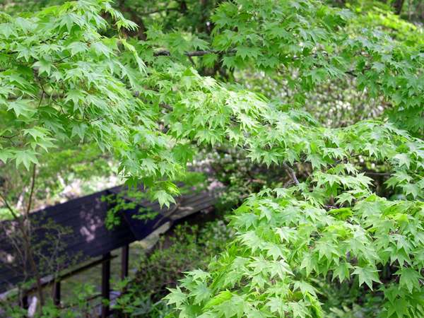 【春】新緑と巌風呂への廊下