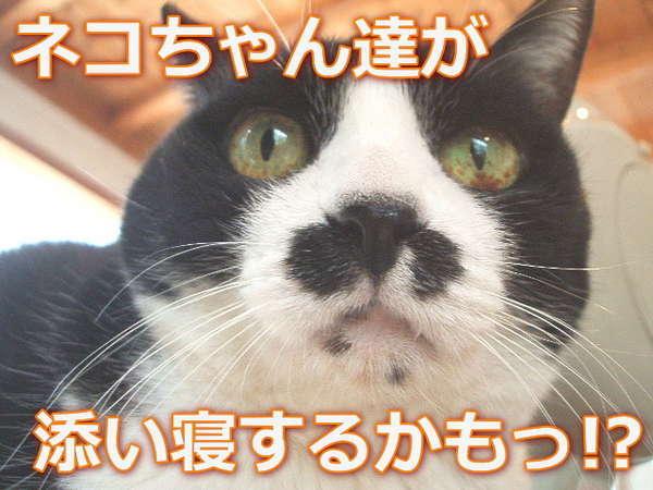 ★人気猫のチョビちゃん「お部屋で遊んだり添い寝が楽しみだニャニョ♪」と申してますっ(^^ゞ
