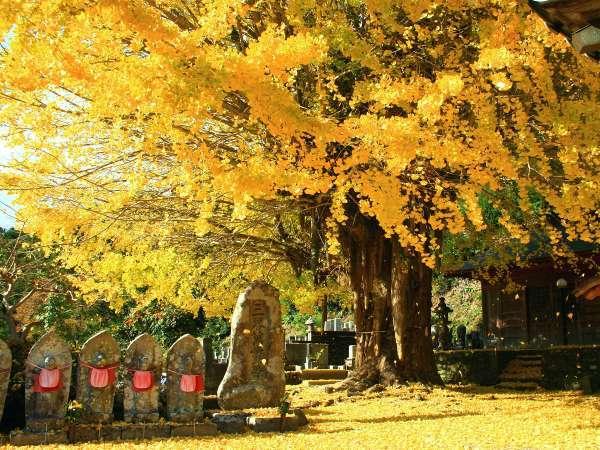 【光泉寺】和歌山県下最大級の大銀杏。青空に映える黄色いイチョウの葉が地面一面を覆い、幻想的な風景♪