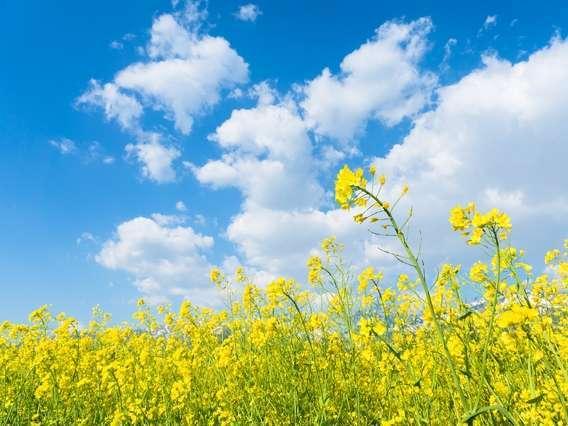 富良野はラベンダーだけではなく、菜の花やジャガイモの花もきれいです。