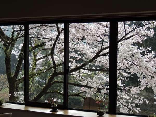 2階宿泊専用レストランからのソメイヨシノ
