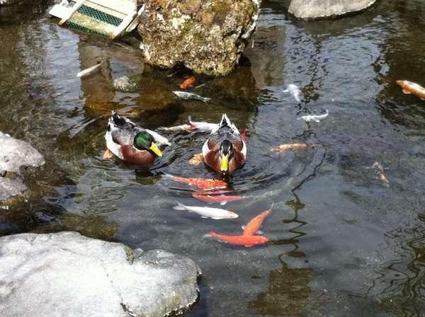 2羽のカモとコイが平和に泳ぐ中庭の池。湯上りにしばし眺めてみては