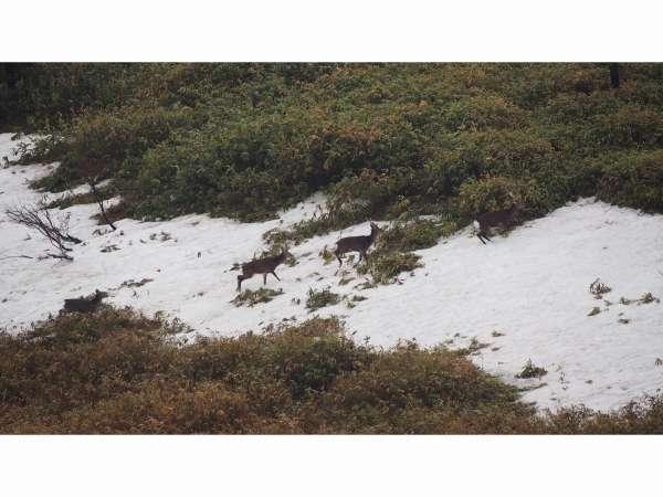 展望風呂から眺める日本鹿の群れ2