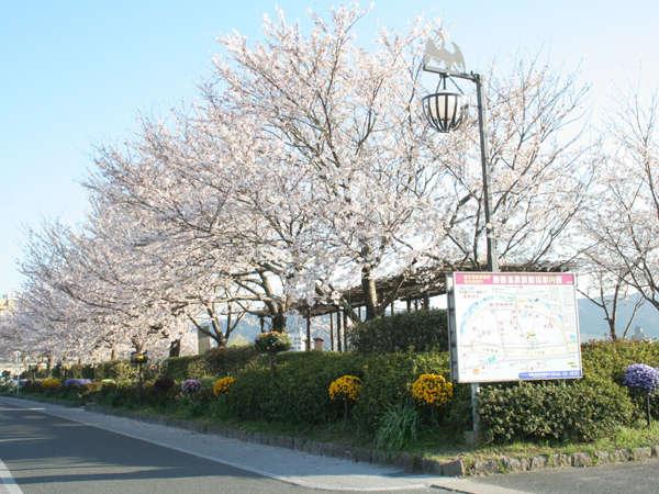 【鵜飼い公園の桜】(4月頃)