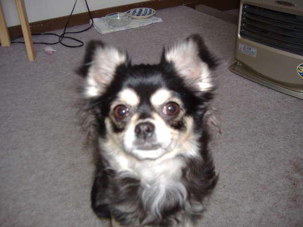 旅館 オタマヤのペット犬「チーコ」