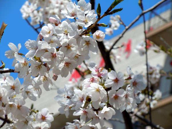 温泉街散策も気持ちいい春、暖かくなると心もウキウキします!例年和倉の桜の見頃は4月中旬頃です。