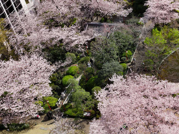 桜が満開の時期の日本庭園