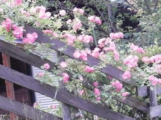 薔薇(アンジェラ)が咲きました。
