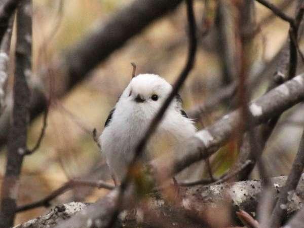 アトレーユ裏の森に住むシマエナガ※餌付けはしていませんので見られるかは運次第です。