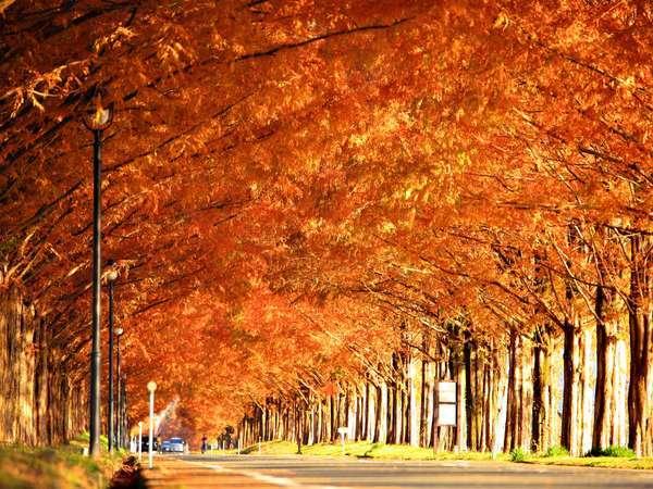 全長2.4km500本のメタセコイヤ並木が織り成す紅葉の絶景