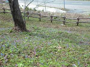 春 さくらヶ丘公園