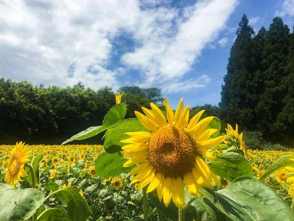 ☆夏と言えば・・・ひまわり☆