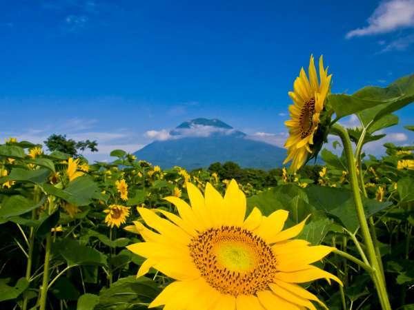 ニセコ夏の景色(ひまわり畑)
