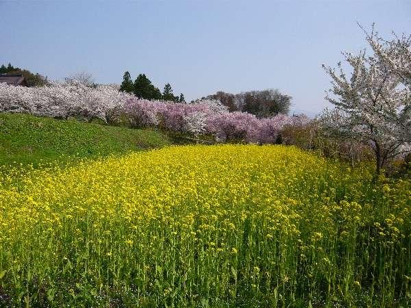 北信州の春爛漫 (お花が一斉に咲き乱れます)