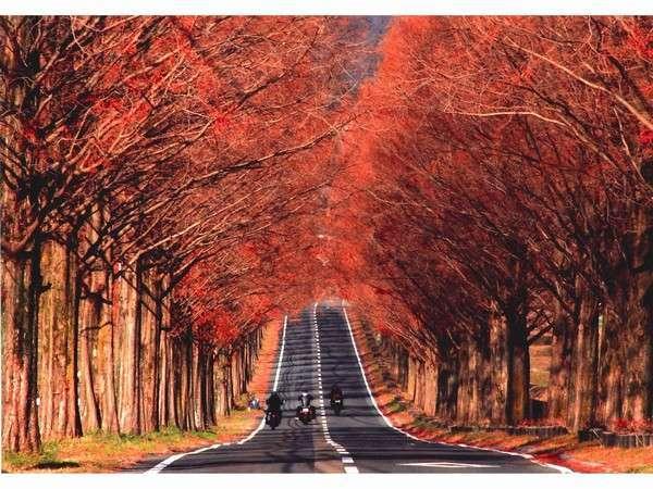 メタセコイヤ並木の秋