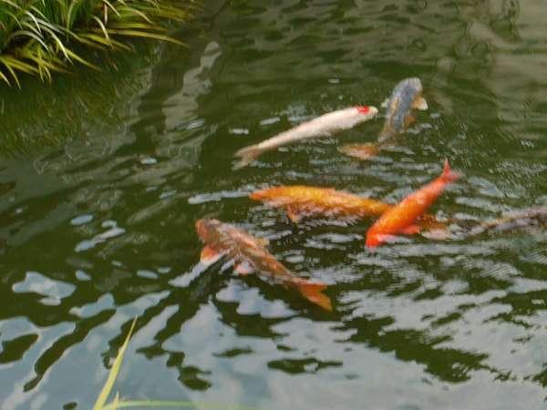 日本庭園の錦鯉。えさやりのご希望はフロントへお気軽にお声を☆
