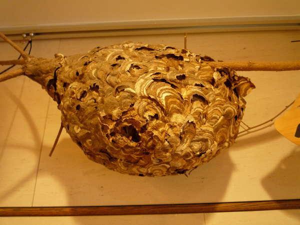 スズメバチの巣今も「蜂はいないが巣はある」。スーですかと巣が言う。