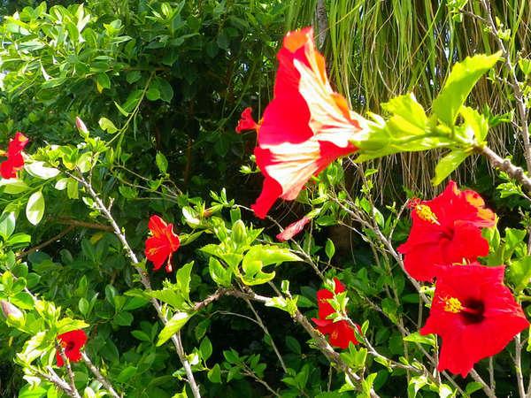 *南国を代表するお花と言えば「ハイビスカス」 お花と一緒に記念撮影はいかがですか?