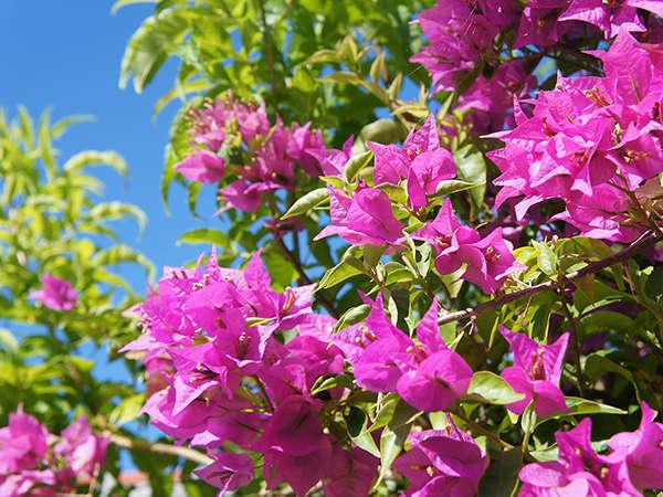 <八重山では一年を通じて鮮やかな花がおもてなしします