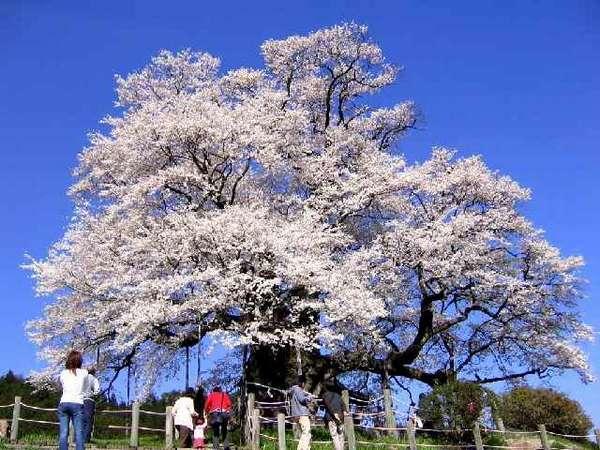 醍醐桜(落合)新日本銘木百選にも選ばれた推定樹齢は1000年県下一の巨木【見 頃】 4月上旬~中旬