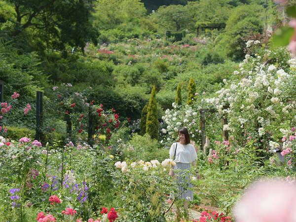【アカオハーブ&ローズガーデン】5月~6月は600種4000株のバラが開花(送迎・宿泊者割引有り)