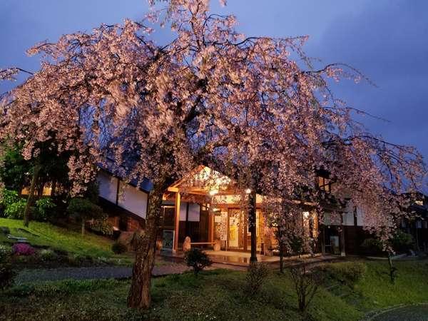 温泉入り口の枝垂れ桜ライトアップ