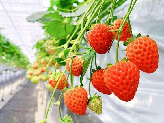 敷地内観光いちご農園「ヘレナストロベリーランド」で90分3品種食べ放題♪