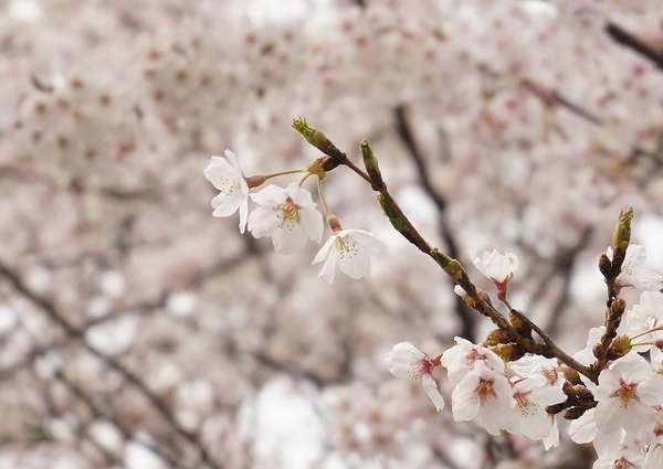 【周辺観光】桜は3月下旬から4月上旬までお楽しみいただけます